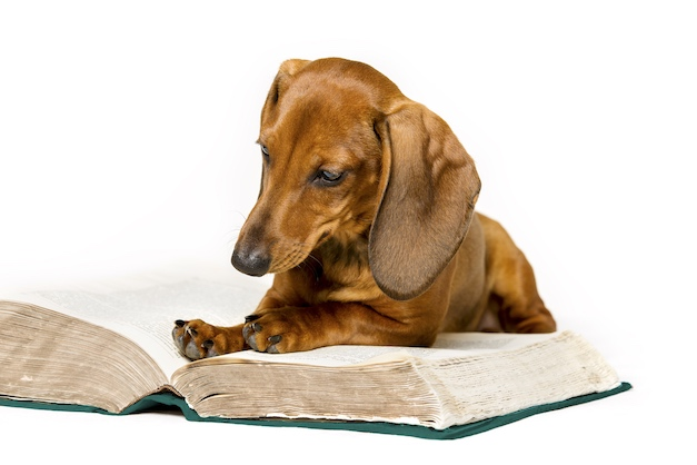 Dachsund studies a book